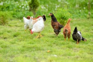 The Use Of Poultry Water For Fertilizer